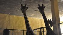 Darıca Hayvanat Bahçesindeki zürafa ailesine 2 yeni üye daha katıldı