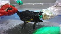 Büyükşehir'den sızıntıdan etkilenen kuşlara banyolu, kuvözlü tedavi