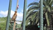 6 metrelik direğe asılı olan eti alan kaplan vatandaşlara şov yaptı