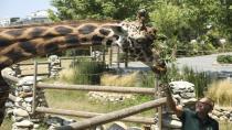 Onun lakabı: Zürafaların babası!